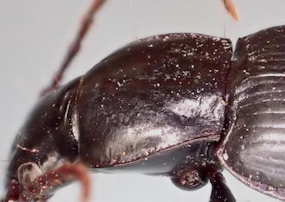 Platynus sp. ?  - Laemostenus complanatus