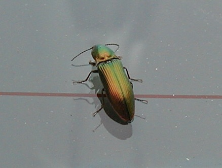 Iridescent Green Beetle - looks like a Click Beetle? - Nitidolimonius resplendens