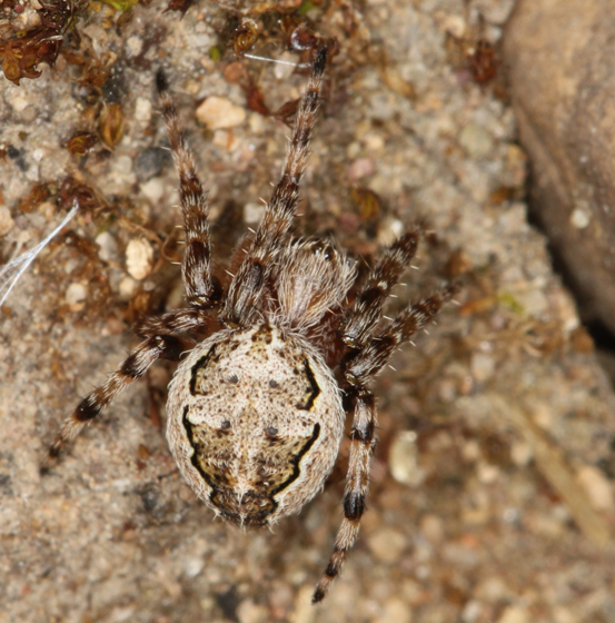 orbweaver - Larinioides patagiatus