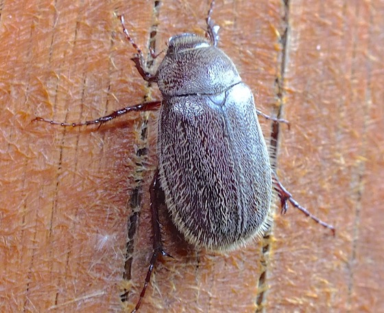 Hairy Beetle - Phyllophaga crenulata