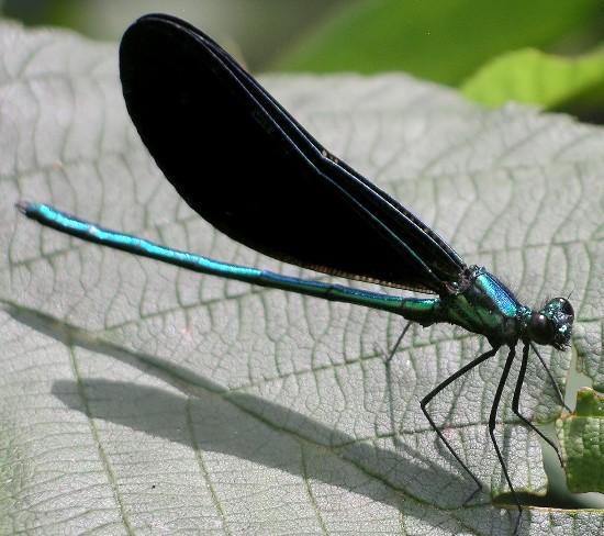 jewelwing - Calopteryx maculata - male