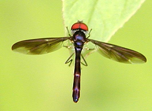 Fly - Ocyptamus fuscipennis