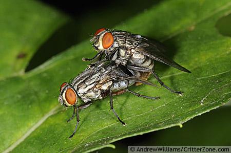 mating flesh flies - male - female