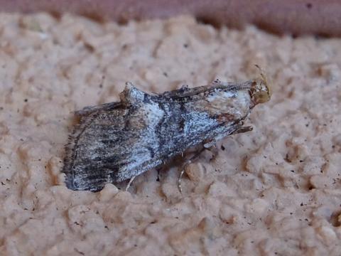 Toripalpus sp.?