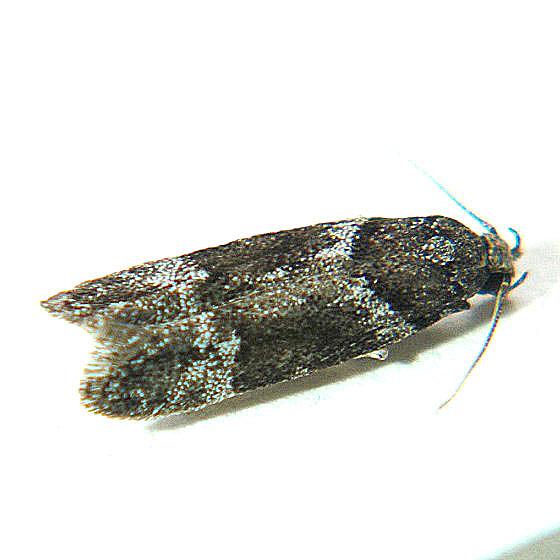 Neotelphusa praefixa - Hodges #1865 - Neotelphusa praefixa