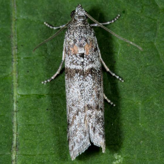Unknown Moth - Myelopsis minutulella