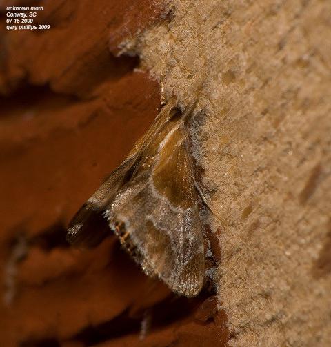 Pegasus Chalcoela Moth - Chalcoela pegasalis