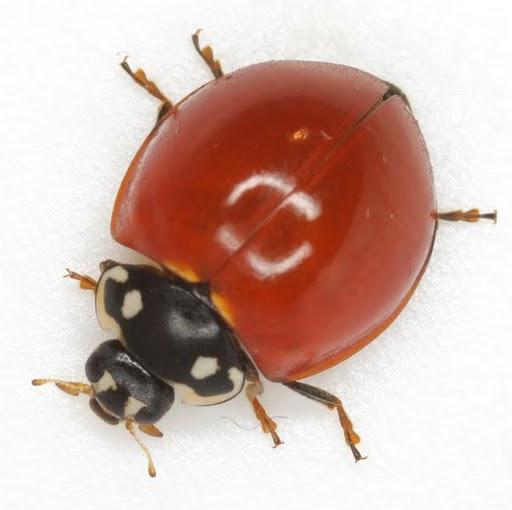 Cycloneda sanguinea (Linnaeus) - Cycloneda sanguinea