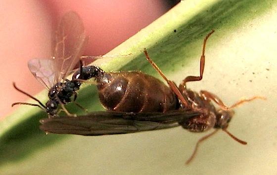 Queen and one male - Prenolepis imparis - male - female