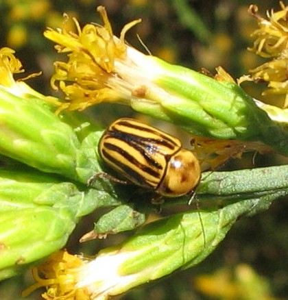 Yellow and brown-striped beetle - Cryptocephalus