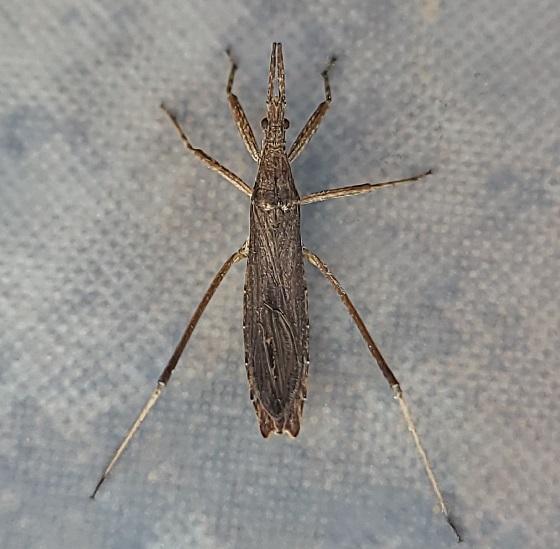 Pygolampis pectoralis