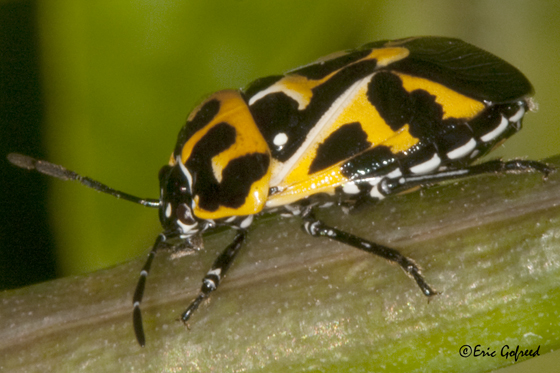 Harlequin Bug - Murgantia histrionica - male - female