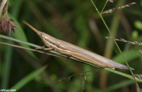 Cattail Toothpick Grasshopper - Leptysma marginicollis