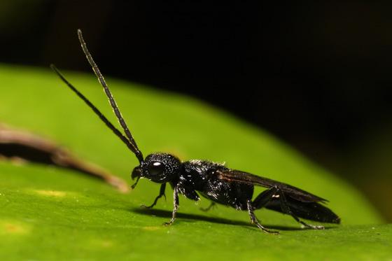 black bug - Pristepyris - male