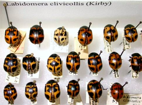 Labidomera clivicollis (Kirby) - Labidomera clivicollis