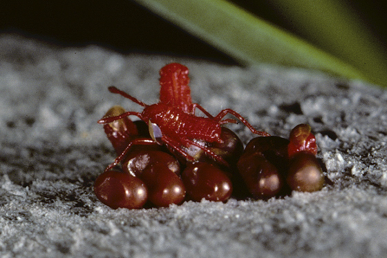 Here is a link that might be useful. Tiny Red Bugs