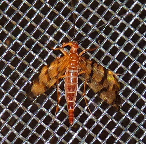 10/13 insect - Panorpa - female
