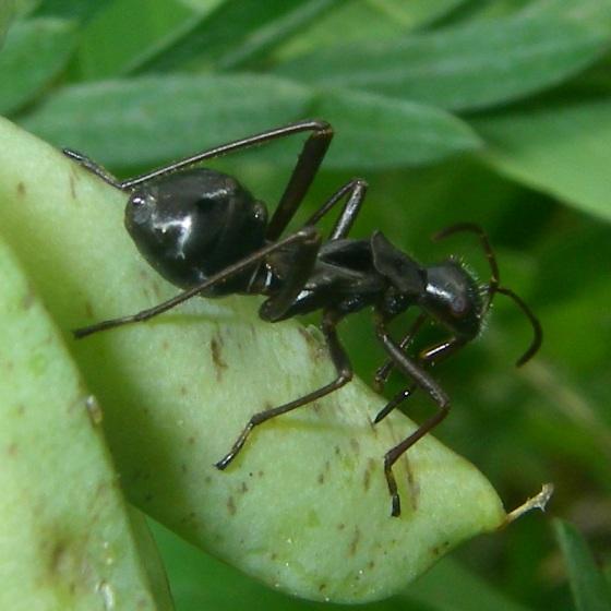 Amazing ant mimic - Alydus eurinus