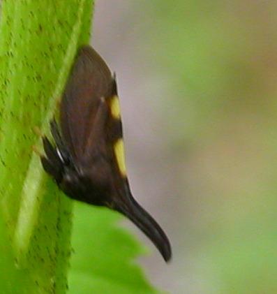 Small hopper - Enchenopa