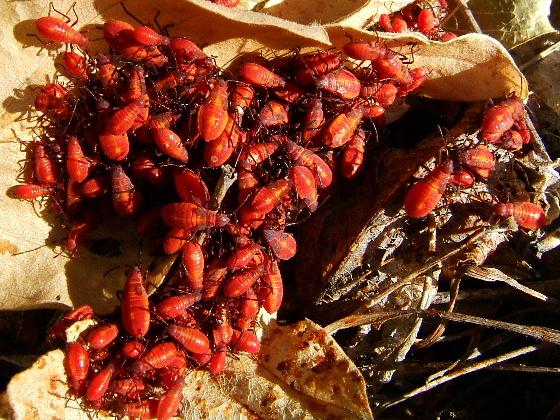 Boxelder Bug Nymphs: Eastern or Western? - Boisea