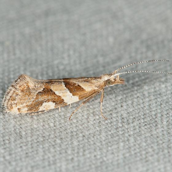 Plutella vanella - Eidophasia vanella