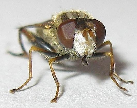 Syrphid Fly - Lejops - female