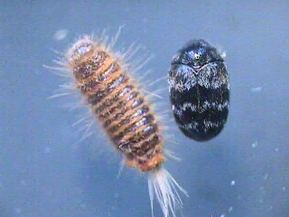 Warehouse Beetle Trogoderma Glabrum Bugguide Net