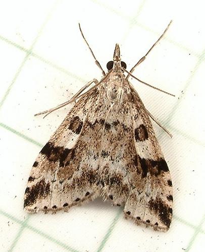 175 Udea washingtonalis - Washington Udea Moth 5081 - Udea washingtonalis