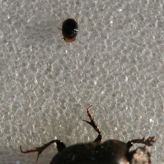 Tiny Beetle - Cybocephalus nipponicus - male