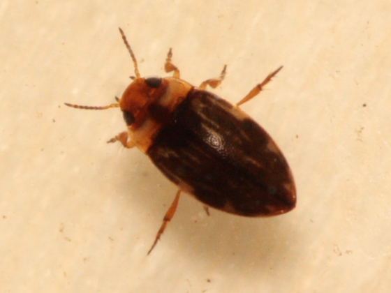 Tiny Diving Beetle - Liodessus affinis