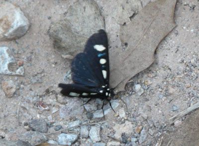 Black Moth with White Spots and Blue Bands - Alypiodes bimaculata