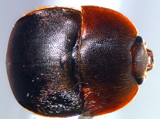 BioBlitz Bug 127 - Aethina tumida