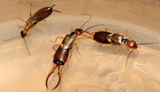 Earwigs - Forficula auricularia - male - female