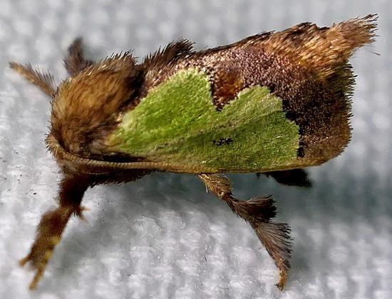 slug moth - Euclea incisa