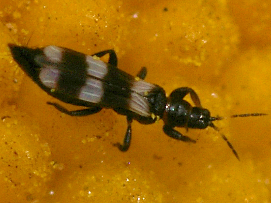 Thrips - Aeolothrips