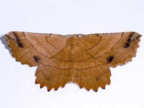 Johnson's Euchlaena - Hodges#6729 - Euchlaena johnsonaria
