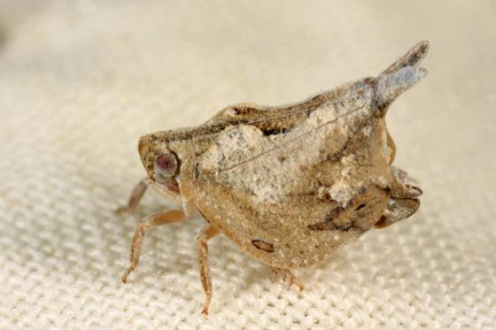 Planthopper - Mistharnophantia sonorana