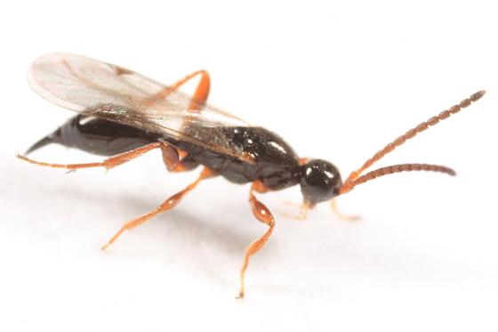 small wasp - Exallonyx - female