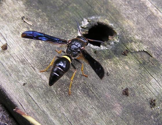 Parazumia symmorpha - female