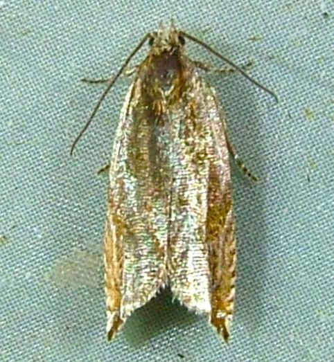 Ancylis metamelana - Black-marked Ancylis Moth  3359 - Ancylis metamelana
