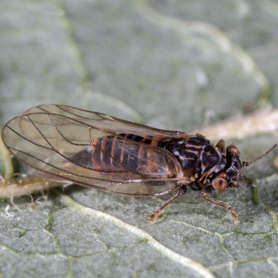 Unknown Bug - Cacopsylla