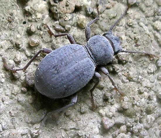 small darkling beetle - Triorophus