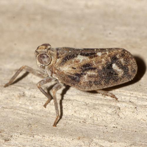 Issid  Planthopper - Thionia elliptica