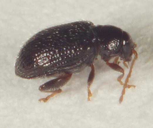 Unknown Beetle - Epitrix cucumeris