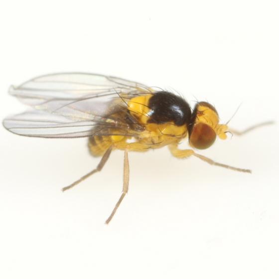 Liriomyza eupatoriella - male