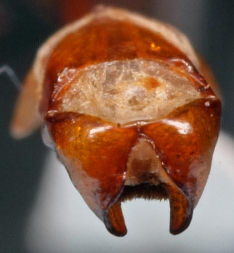 Phyllophaga May June beetle - Phyllophaga glaberrima