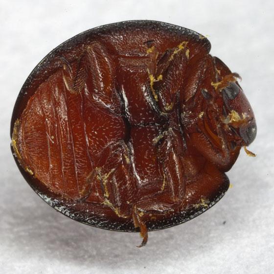 Beetle IMG_1783 - Chilocorus bipustulatus