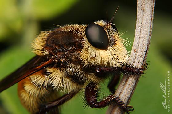 Robber Fly Mallophora fautrix - Mallophora fautrix