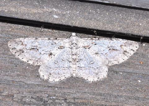 Moth - Iridopsis fragilaria - male