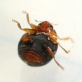 beetle - Scymnus kansanus